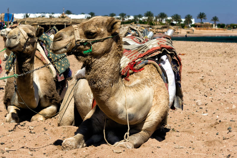 Camel sitting in Egiptian oasis. With traditional Bedouin saddle royalty free stock photos