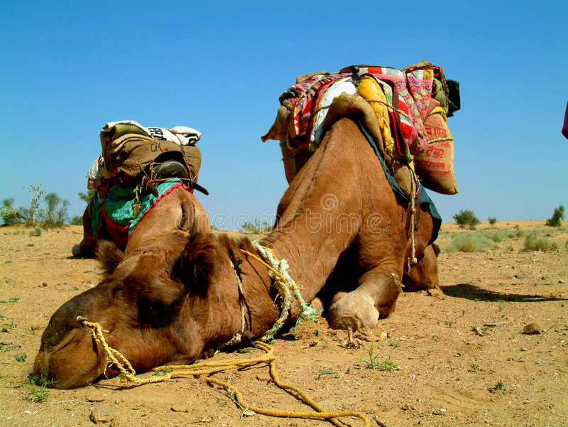 Download Camel Sleeping Royalty Free Stock Photos - Image: 284208