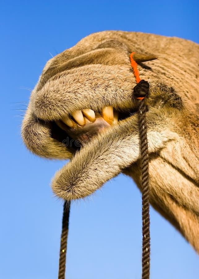 Camel smile royalty free stock photo