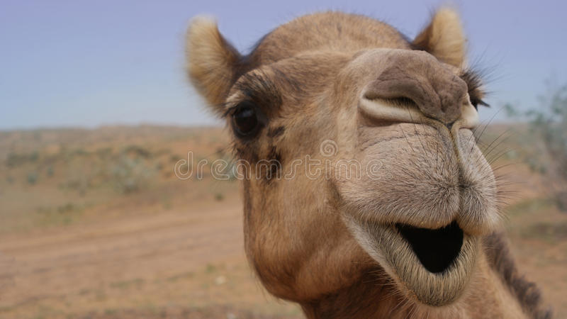 Camel Smiling. Close up, wide angle shot of camel's face in the UAE desert