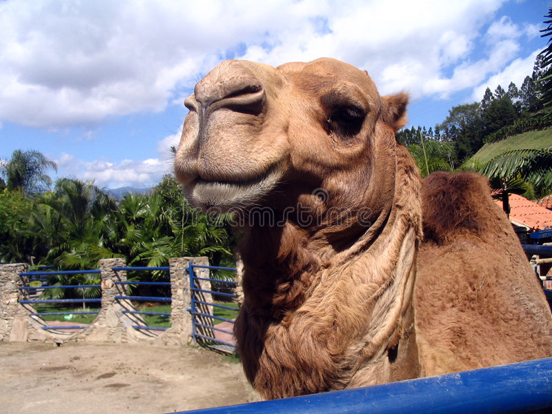 Camel smiling in the zoo. Camel stock images