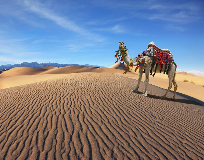 Camel Song