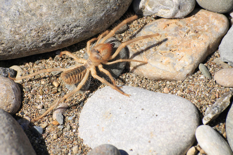 Camel spider or Solfugid stock photography