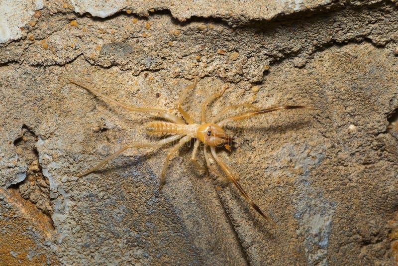 Camel spider, Solifuge, Desert National Park, Rajasthan royalty free stock photo