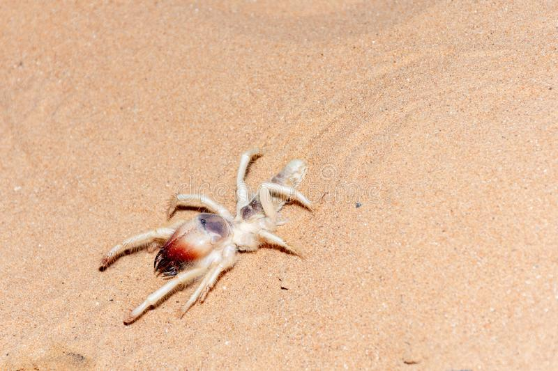 Camel Spider in the UAE Desert. A Camel Spider in the UAE Desert Sand at night royalty free stock photos