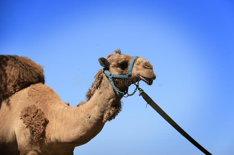Camel. A camel standing against a blue sky royalty free stock photo