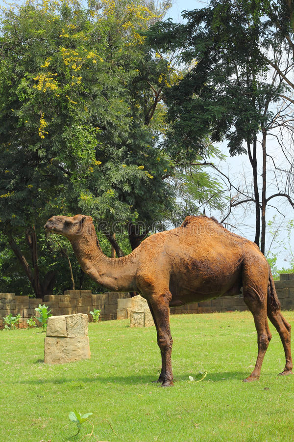 Free Camel Standing In The Zoo. Royalty Free Stock Photos - 34684368
