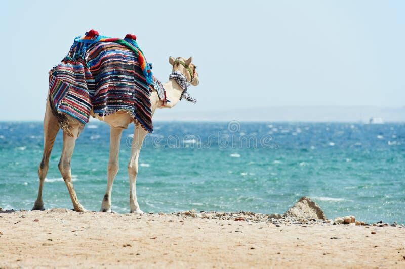 Camel at Red Sea beach royalty free stock photo