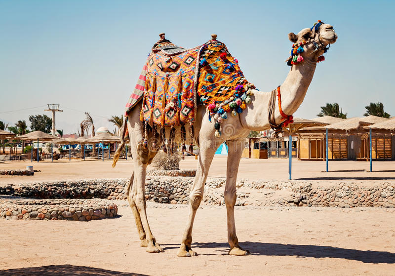 Camel standing to his full height, using for tourist trips to Hurghada, Egypt royalty free stock images