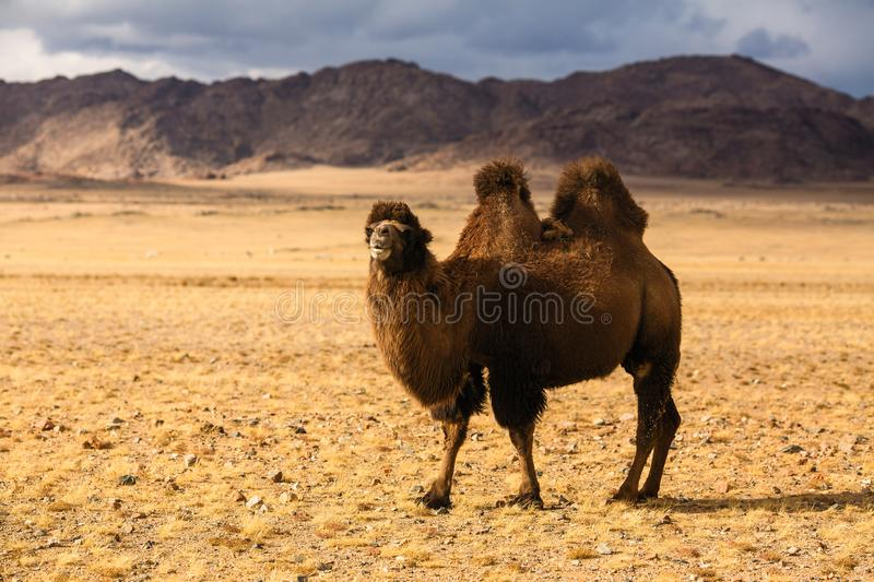 Camel in the steppe of Western Mongolia. Nature. royalty free stock images