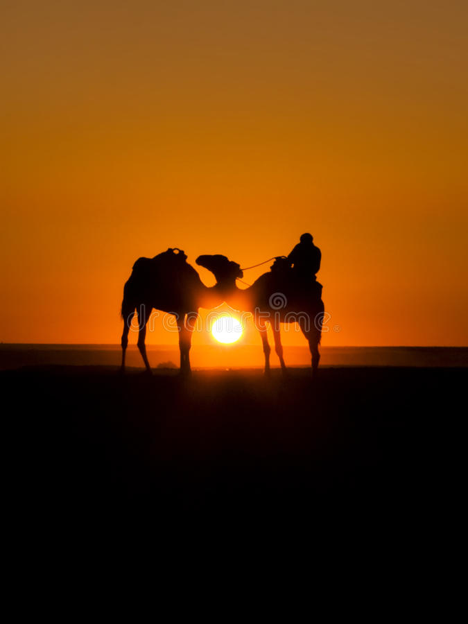 Camel sunset royalty free stock images