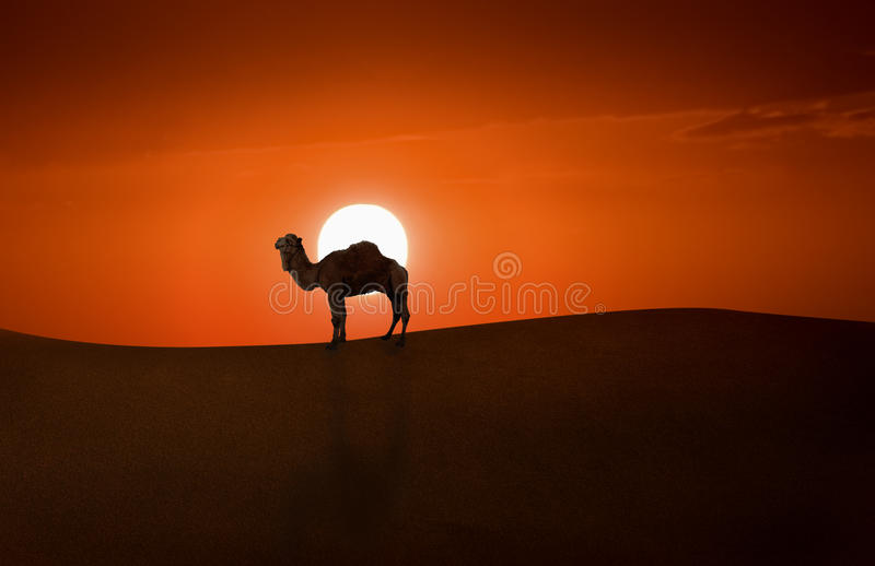 Camel and Sunset stock photo