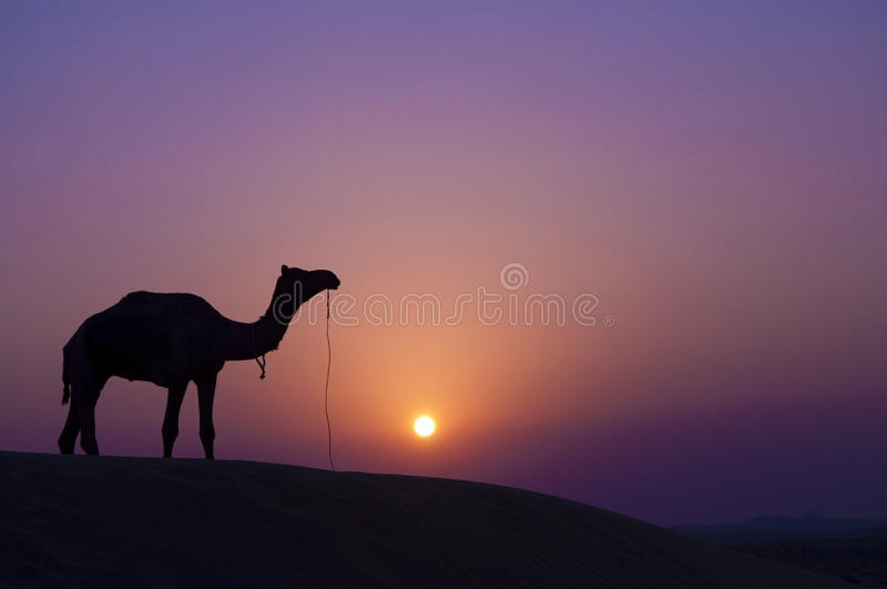 Camel at sunset stock image
