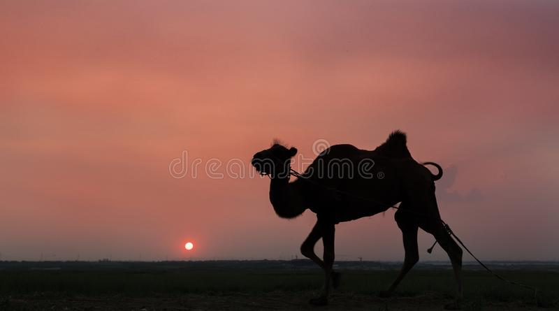 Camel and sunset royalty free stock photography