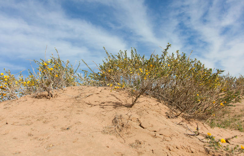 Camel thorn bushes. In the desert of Mongolia stock images