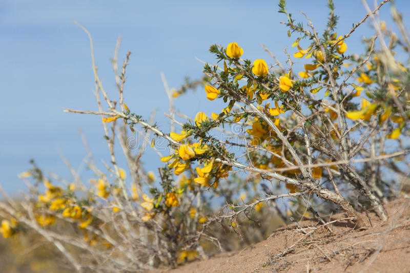 Camel thorn bushes. In the desert of Mongolia royalty free stock photo
