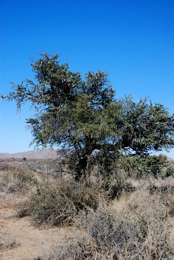 Camel thorn of giraffe thorn tree stock afbeelding