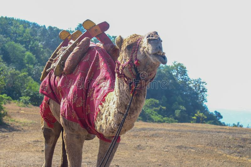 Camel in a tourist spot. Seemis enjoying it& x27;s time out. Ready to have people on it& x27;s back to give them a joy ride royalty free stock photos