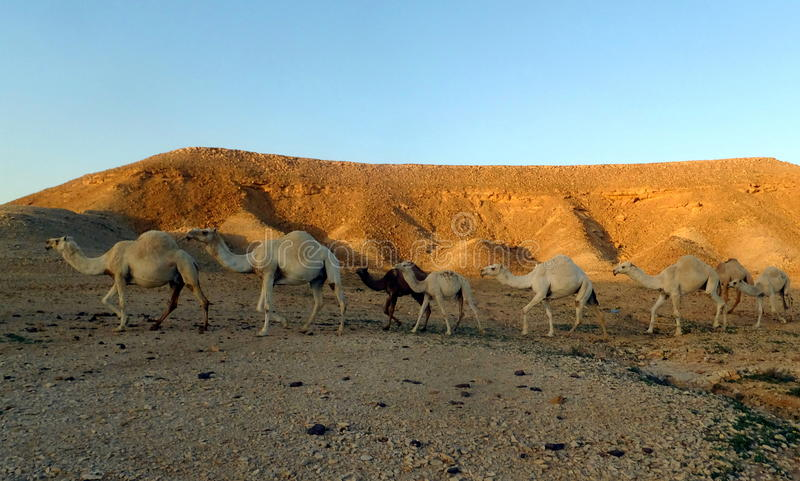 Camel Train in the Desert outside Riyadh, Kingdom of Saudi Arabia. These camels blended in with the colors of the desert as the sun was setting in the desert royalty free stock photos