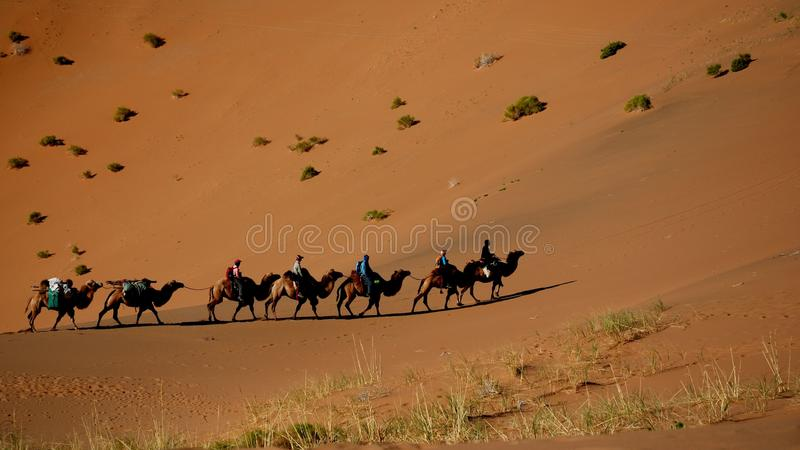 A camel train in Gobi desert. Camels are the only big animal that could survive in deep desert with out water for days. The local people use camels traveling stock photo