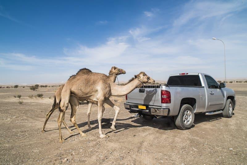 Camel training stock image