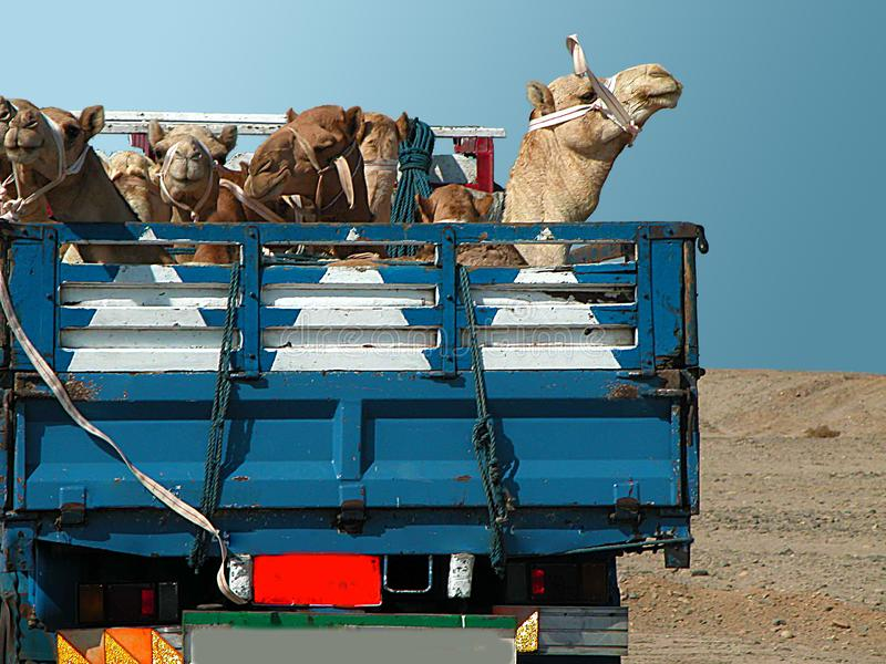 Camel transport on a truck. Camels on camel market changed their owner. Now they are transported through the desert on the pickup of a truck stock photos