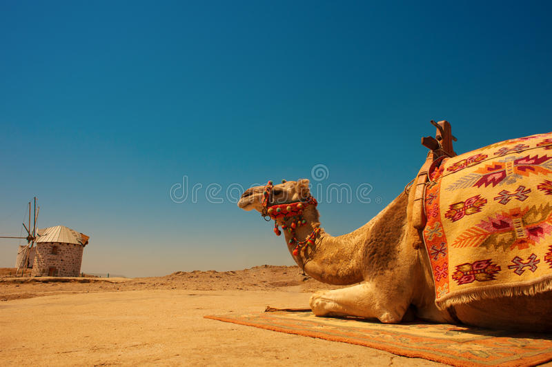 Camel under the scorching sun. Camel resting under the scorching sun stock images