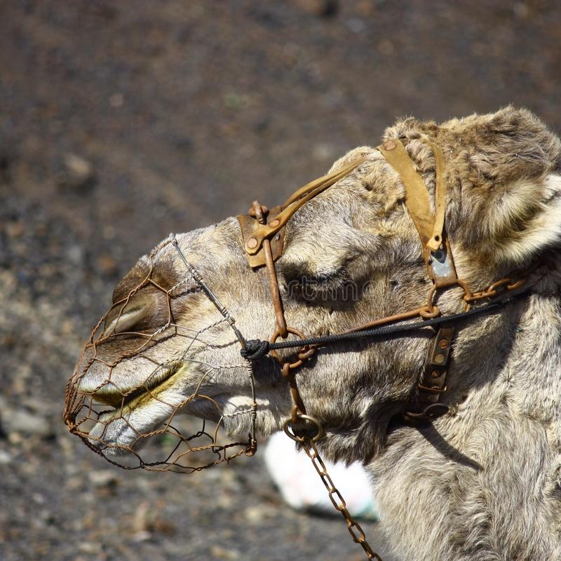 Camel on the volcano royalty free stock images