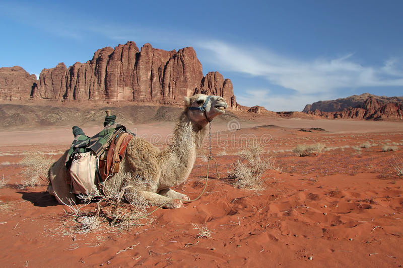 Camel in Wadi Rum royalty free stock photo