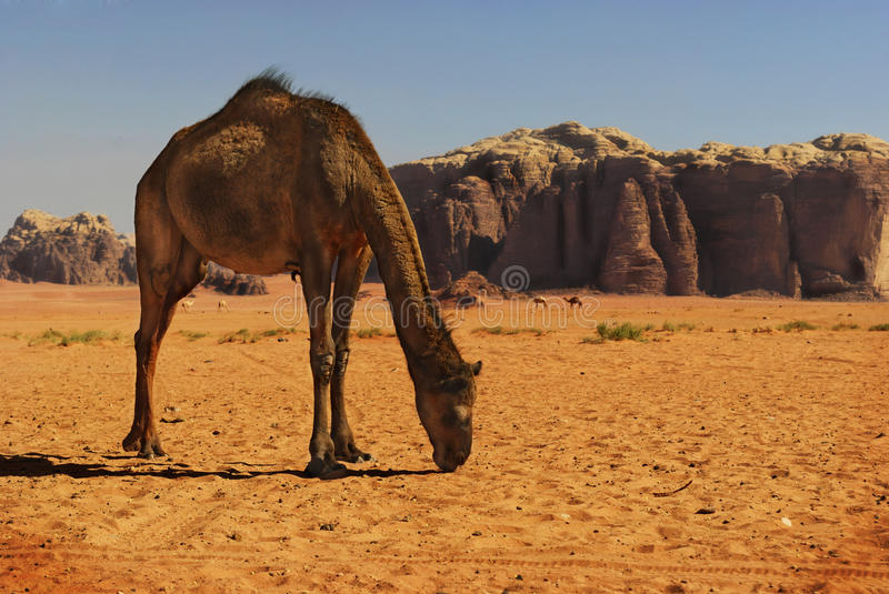 Camel in Wadi Rum stock photography