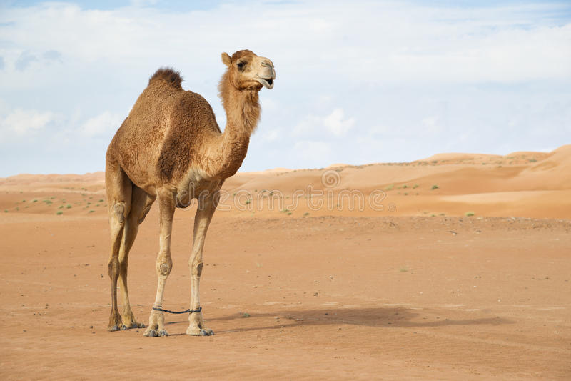 Camel in Wahiba Oman stock images