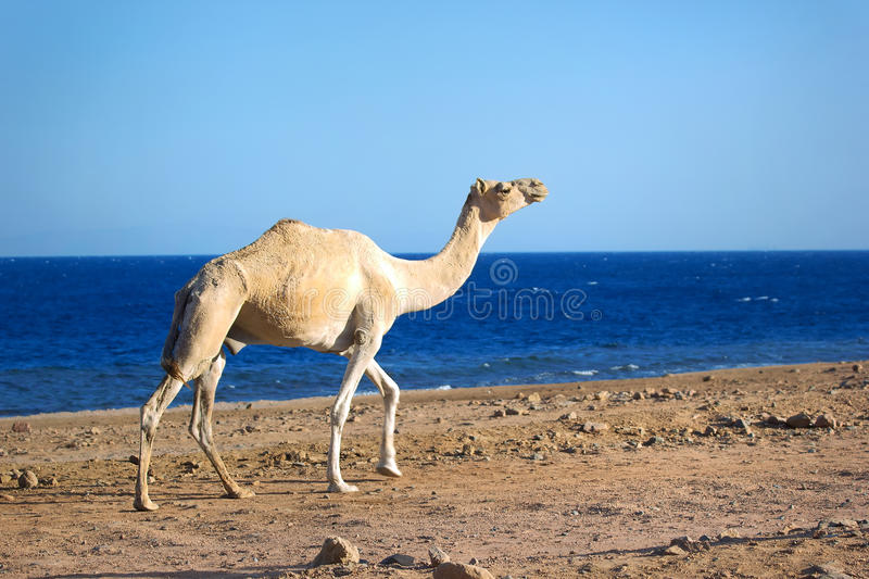 Camel. Walking on the beach stock photos