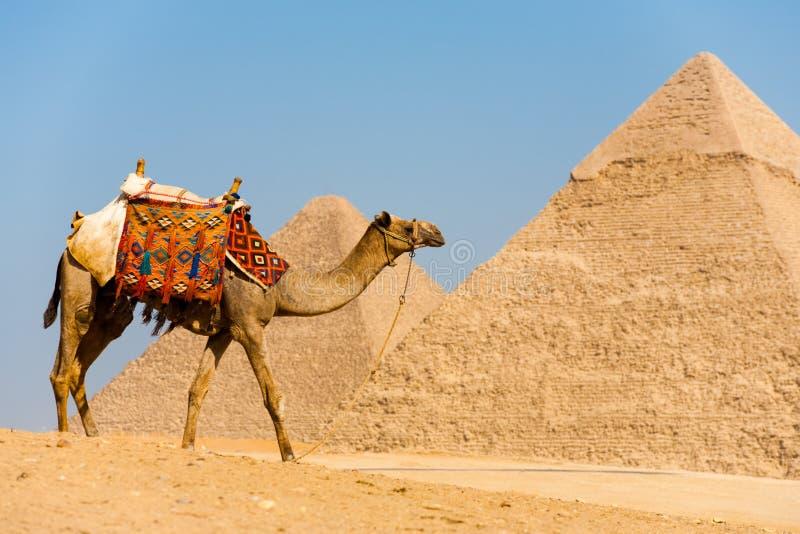 Download Camel Walking Pyramids stock image. Image of pyramids - 17123769
