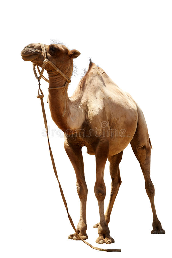 Camel on a white background stock photos