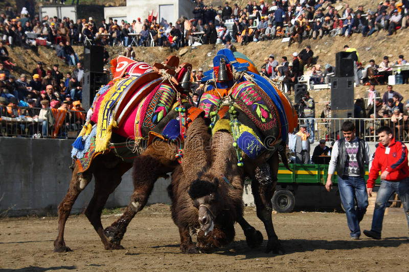 Download Camel wrestling editorial stock image. Image of strong - 17046724