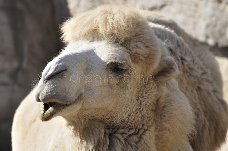 Camel In Zoo Royalty Free Stock Photo