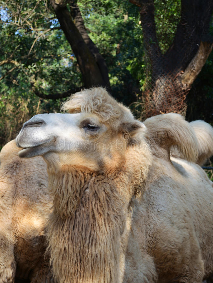 Download Camel In A Zoo Stock Photos - Image: 36358003