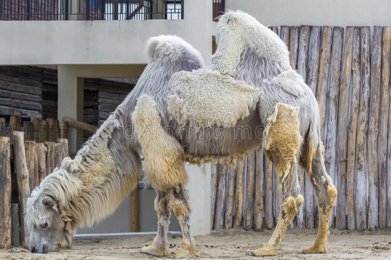 Seasonal Shedding Camel at Budapest Zoo. Camel in the zoo. European menagerie. Seasonal molt of mammals. Asian wild animal. Wild nature. Peeling coat royalty free stock image
