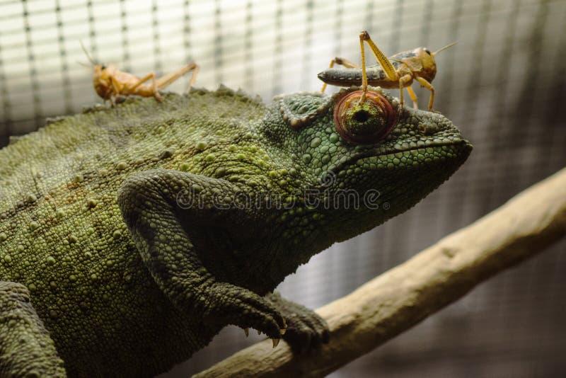 Cameleon με grasshoppers στοκ φωτογραφίες με δικαίωμα ελεύθερης χρήσης