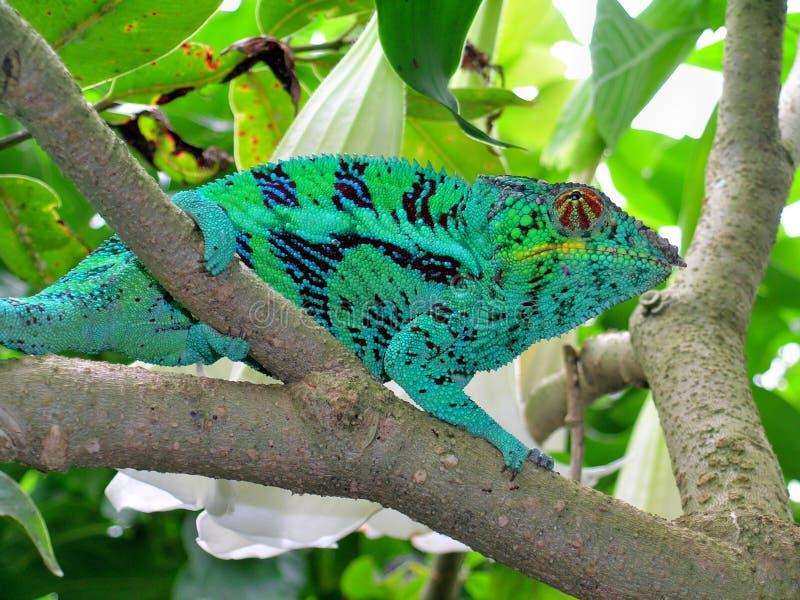 cameleon furcifer pardalis στοκ εικόνες με δικαίωμα ελεύθερης χρήσης