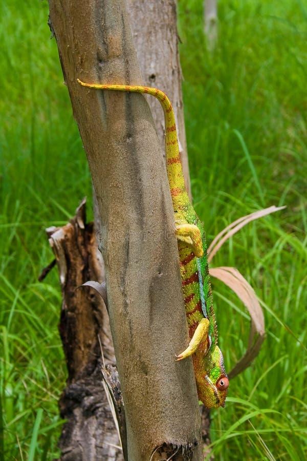 cameleon Madagascar fotografia stock