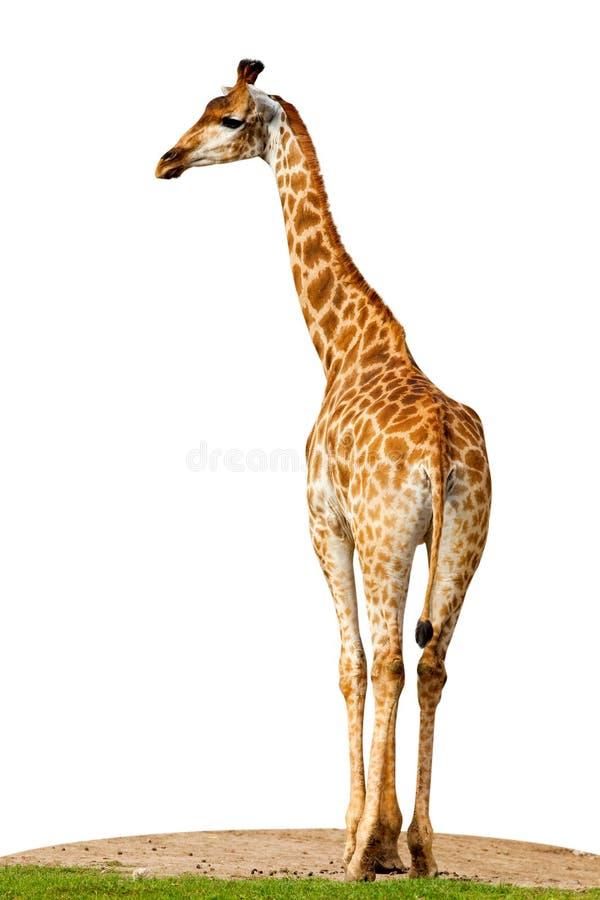 Cameleopardalis de Giraffa, giraffe photographie stock libre de droits
