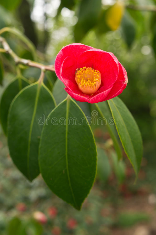 CAMELIA images stock