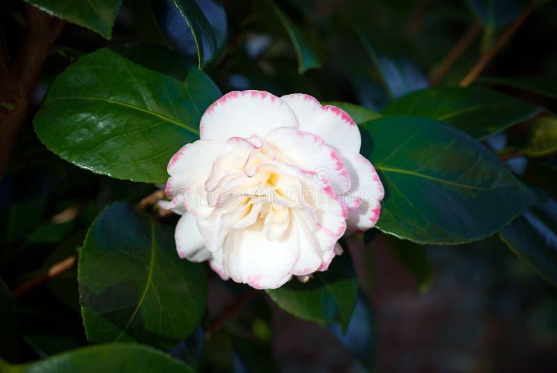 Camelia japonesa Camelia Japonica Flor blanca y rosada imágenes de archivo libres de regalías