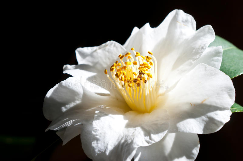 Camelia Japonica. A beautiful Camelia Japonica that is in full bloom, shot with natural window light royalty free stock images