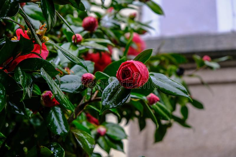 Camelia japonica flower in bloom. A pink camelia japonica flower in bloom stock image