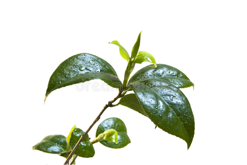 Camelia leafs royalty free stock image