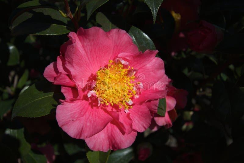 Camelia rose photos stock