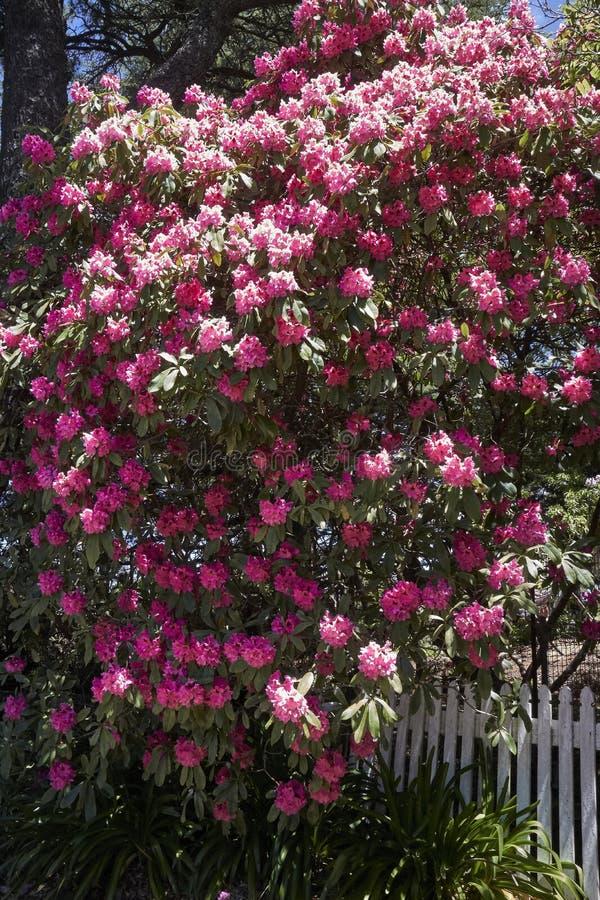 Camelia Tree Blumen rund um die Parks in Wentworth Falls, New South Wales, Australien lizenzfreie stockfotos