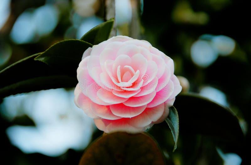 camellia arkivfoton